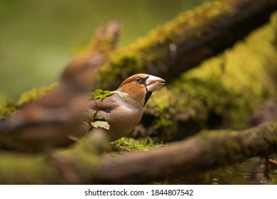 Hawfinch in the dark forest. Ornithology in nature. European wildlife nature. The bird is hidden in the wood.
