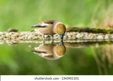 Hawfinch sitting on lichen shore of water pond in forest with beautiful bokeh and flowers in background, Germany, bird reflected in water, songbird in nature lake habitat,mirror reflection,wildlife