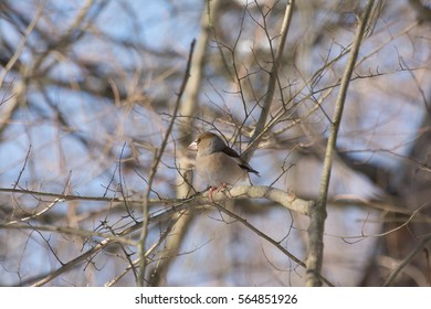 Hawfinch standing on branch