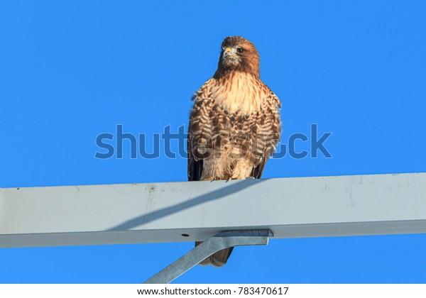 Hawk against a blue sky on the Rathdrum Prairie in north Idaho.