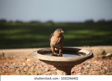 hawk in birdbath