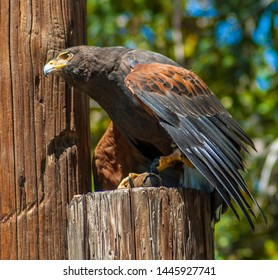 Harris's Hawk by John James Audubon, formerly known as the bay-winged hawk or dusky hawk, is a bird of prey that breeds from the southwestern United States south to Chile, Argentina, and Brazil