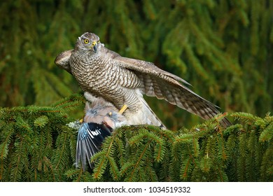 Hawk from Czech Republic. Goshawk Accipiter gentilis, bird of prey with killed jay on green spruce tree. Feeding scene with bird and catch.
