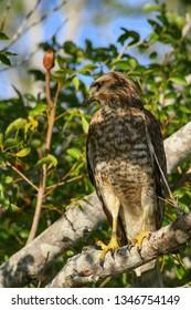 Hawk in Everglades National Park