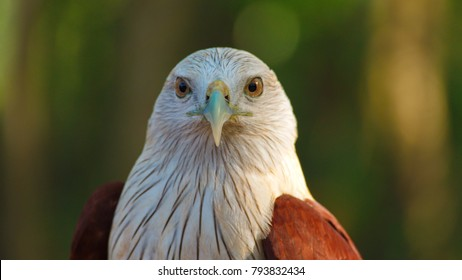 Hawk, Hawk eyes, red wing color hawk