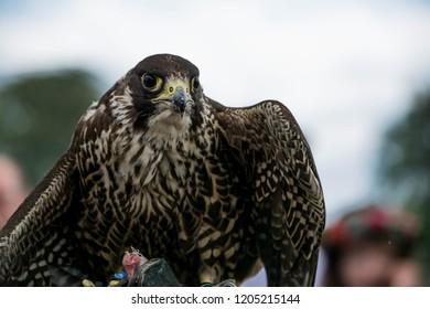 Hawk or falcon