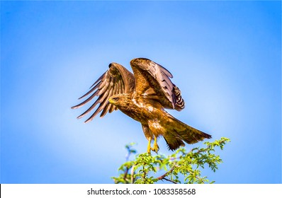 Hawk flapped its wings. Hawk wings portrait on blue sky background