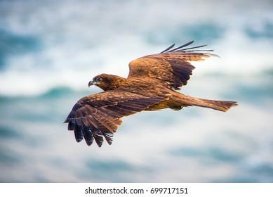 Hawk in flight from above