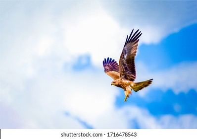 Hawk fly in sky. Hawk in fly