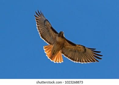 Hawk flying above Los Angeles