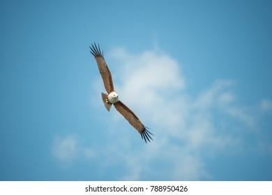 Hawk flying in blue sky.