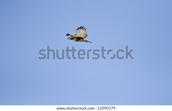 Hawk flying with blue sky in background