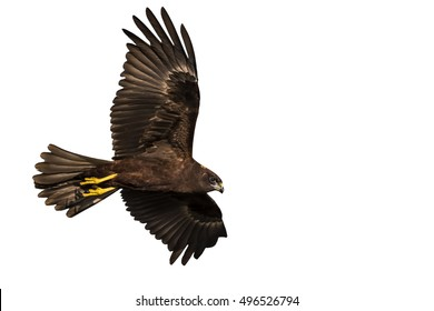 Hawk flying. Isolated hawk on white background.
