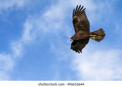 hawk flying sky clouds background