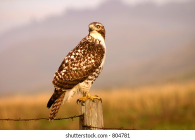 Hawk hunting at Northern California coastal region