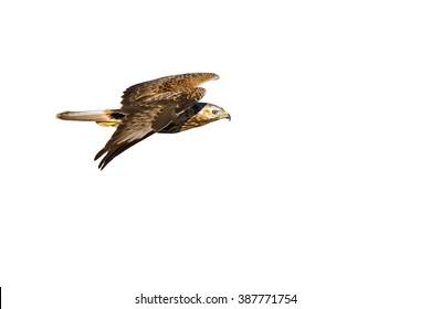 hawk isolated on white Long legged Buzzard / Buteo rufinus
