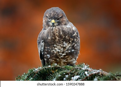 Hawk landing. Autumn wildlife, bird of prey Common Buzzard, Buteo buteo, flight on coniferous spruce tree branch. Wildlife scene from the nature. Landing on spruce tree. Buzzard fly in the forest.
