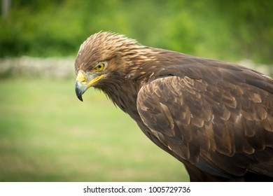 A hawk looking to the ground.