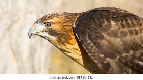 Hawk Looking Left
