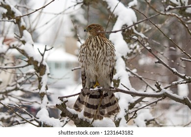 Hawk Looking for Prey in a Snow Covered Tree