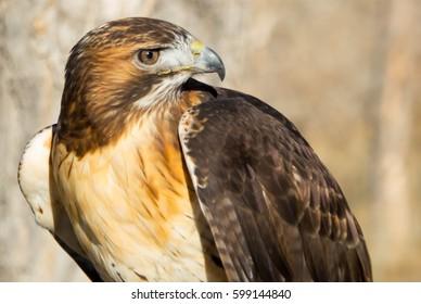 Hawk Looking Right