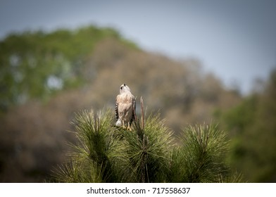 Hawk looks up