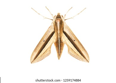 Hawk -Moth,Isolated Butterfly Theretra lycetus on white background