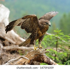 Hawk on a branch in forest