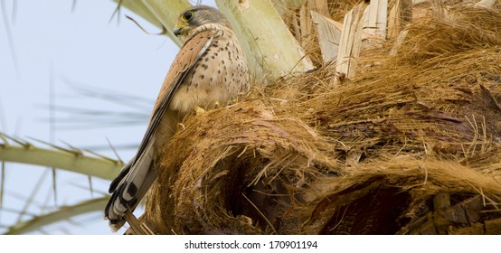 hawk on a palm tree near the Red Sea in Egypt