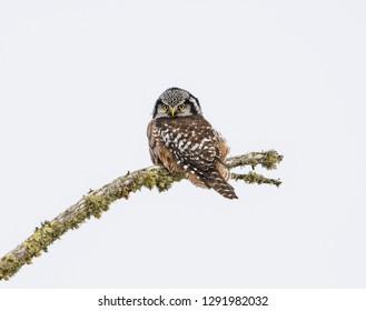 Hawk Owl Focused - A Northern Hawk Owl is focused on prey for its next meal. Sax-Zim Bog, Meadowlands, Minnesota.