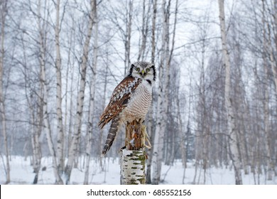 Hawk Owl, Surnia ulula in nature forest habitat during cold winter. Wildlife scene from nature. Birch tree forest with bird, Finland. Nature of north Europe.