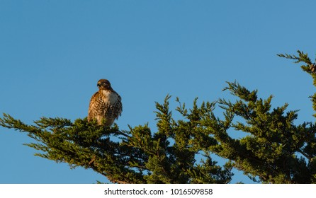 A hawk perched on a branch high in a tree