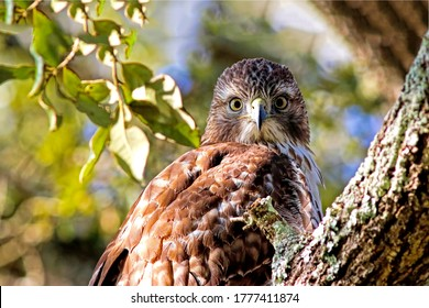 Hawk portrait in nature scene. Hawk eyes. Hawk portrait