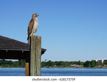 Hawk sits on a pole in Central Florida