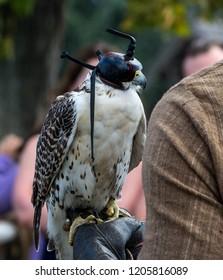 Hawk sitting on falconers hand
