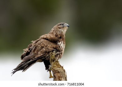 Hawk sitting on the spruce branch in winter time. Wildlife scene from snowy nature. Bird of prey with snow. Winter with hawk in the forest