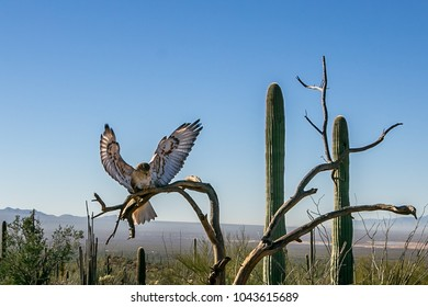 Hawk is sitting on the tree in Tucson, Arizona.