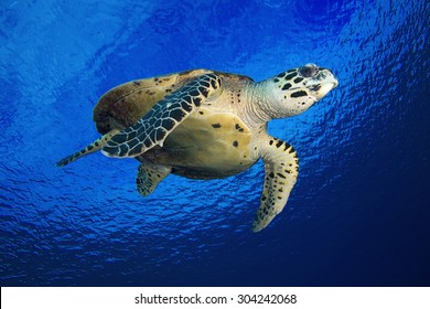 HAWKBILL SEA TURTLE SWIMMING ON THE BLUE WATER