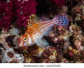 A hawkfish against a background of soft corals and ascidians