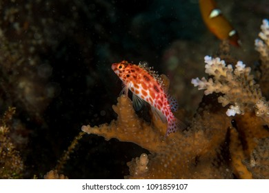 Hawkfish | Hawkfish Stock Images Royalty Free Images Vectors Shutterstock