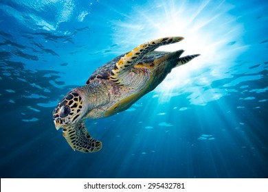 hawks bill sea turtle dive down into the deep blue ocean against the sunlight