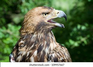 hawk's head with open beak
