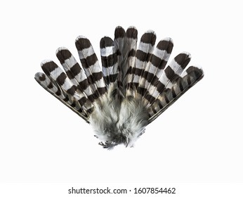 Hawk's tail isolated on a white background