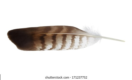 Hawk's wing feather isolated on white.