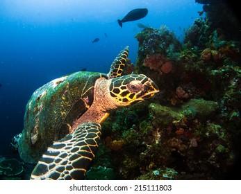 Hawksbil turtle (Eretmochelys imbricata), waiting and posing on the healthy beautiful reef of Komodo. Indonesia.