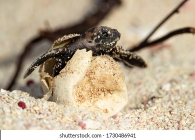 Hawksbill hatchling hatching from its egg.
