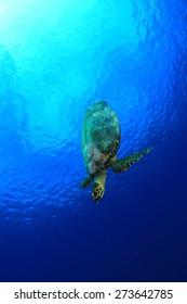 Hawksbill Sea Turtle in blue water