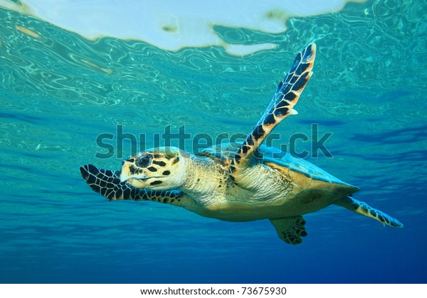 Tortue de mer de Hawksbill à l'eau bleue claire