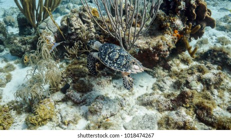 Hawksbill Sea Turtle at the coral reef in the Caribbean Sea around Curacao