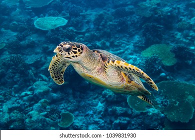 hawksbill sea turtle dive swim in the deep blue ocean in front of tropical coral reef background